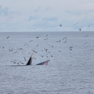 Bryde's whale tread-water feeding on anchovies in the Gulf of Thailand, late September, 2021