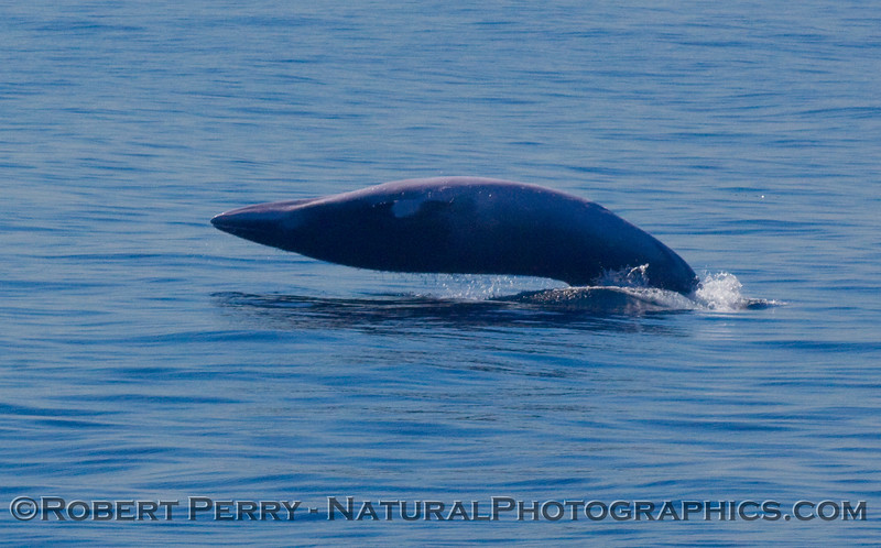 This Minke Whale (Balaenoptera acutorostrata) breached a couple of times as the RV Robert Gordon Sproul passed through the San Pedro Channel.