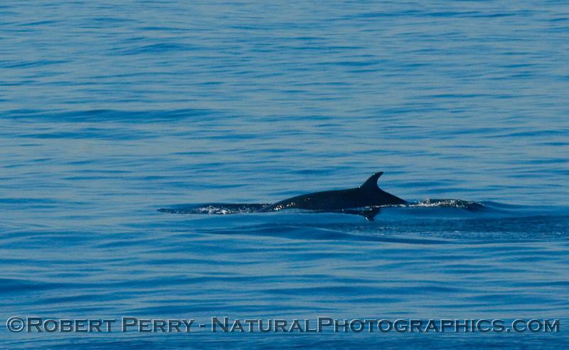 Minke Whale (Balaenoptera acutorostrata) dorsal fin - San Pedro Channel.