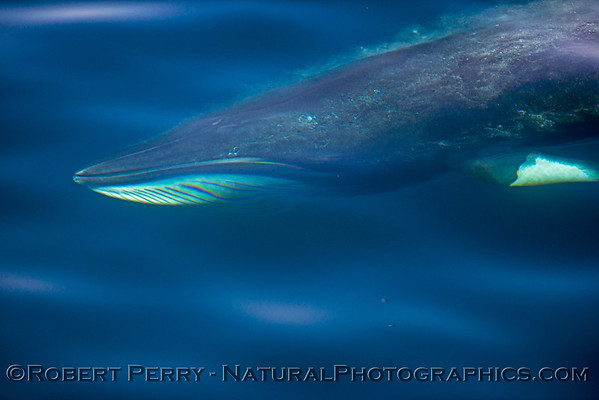 Whales with Baleen - Mysticetes