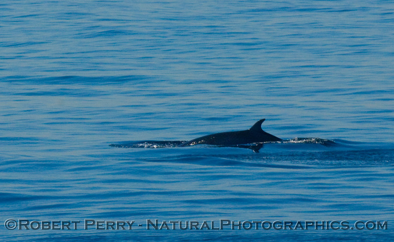 Minke Whale breach sequence -  San  Pedro Channel - 1 of 6