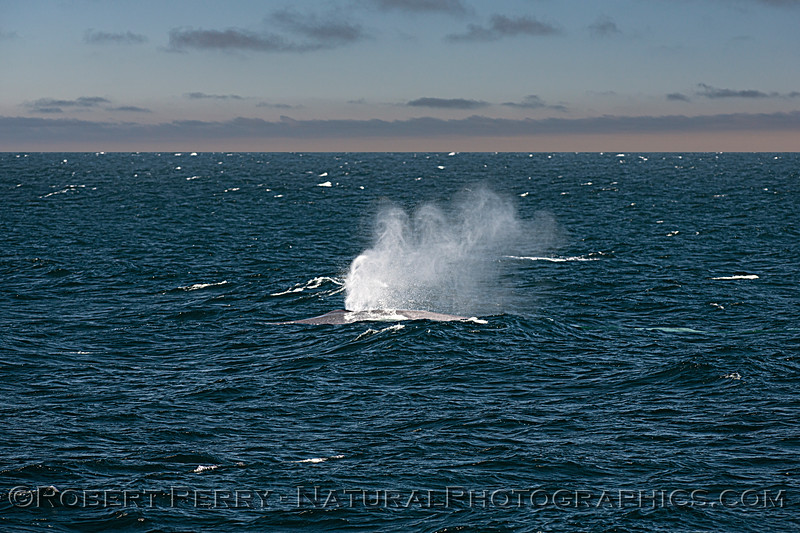 Balaenoptera musculus spout wind rough seas 2020 08-28 East Santa Cruz Island-092