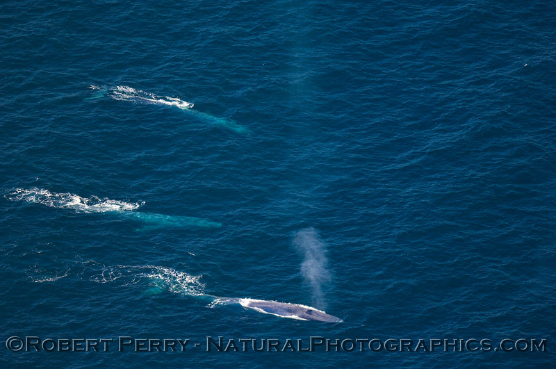 Three Blue Whales in blue waters off Santa Rosa Island.  Photo taken from small airplane 1000 feet above.