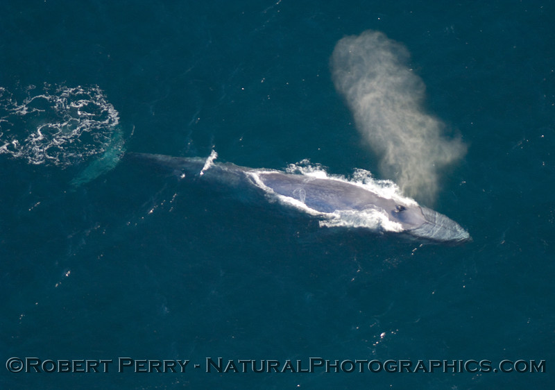 Blue Whale spouts in clear blue waters near Santa Rosa Island.  Photo taken from 1000 foot altitude.