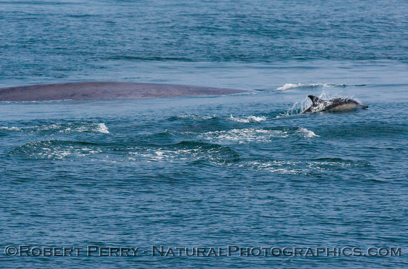 Shot 4 of 4 - Blue whale (Balaenoptera musculus) surrounded by Common Dolphins (Delphinus sp).
