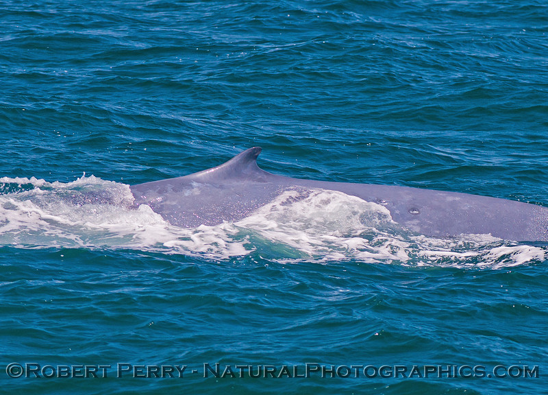 Balaenoptera musculus dorsal fin 2016 07-07 SB Channel-173