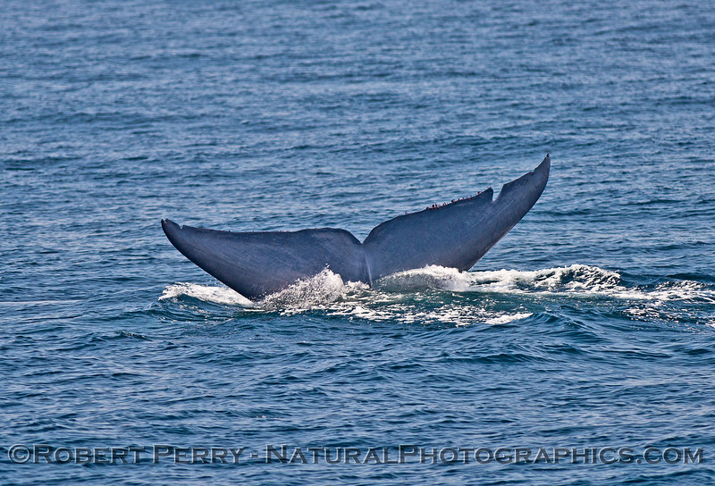 Balaenoptera musculus tail flukes sequence 2016 06-22 SB Channel-b-012