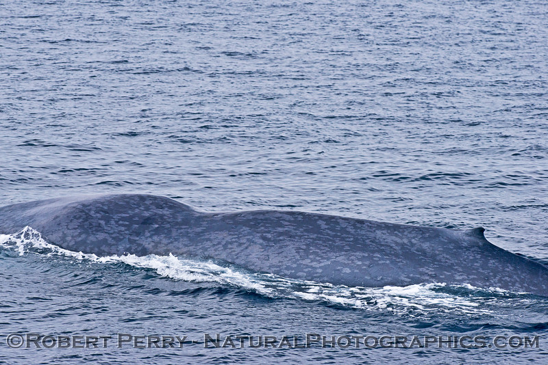 1-Balaenoptera musculus with big dent in back 2015 07-01 SB Channel-350