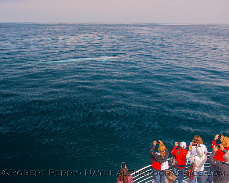 Balaenoptera musculus & passengers 2020 09-27 SB Channel East--049