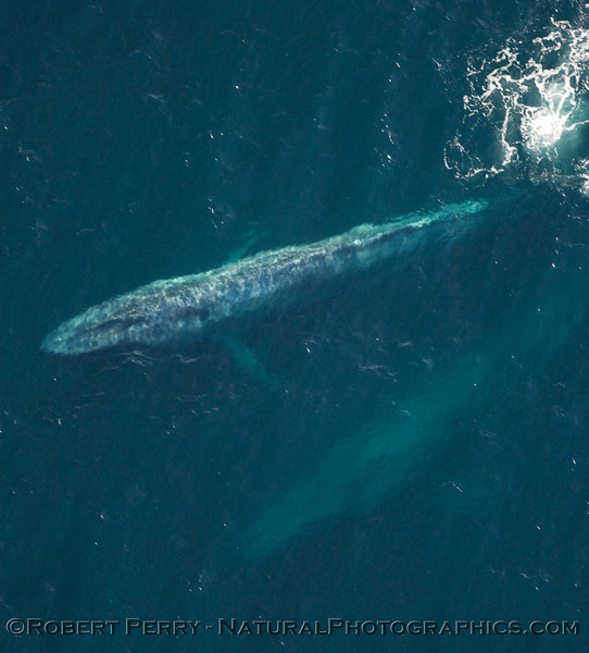 Two Blue Whales seen off Santa Rosa Island from 1000 foot altitude.