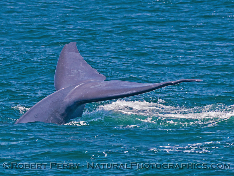 Balaenoptera musculus tail flukes 2016 07-07 SB Channel-007