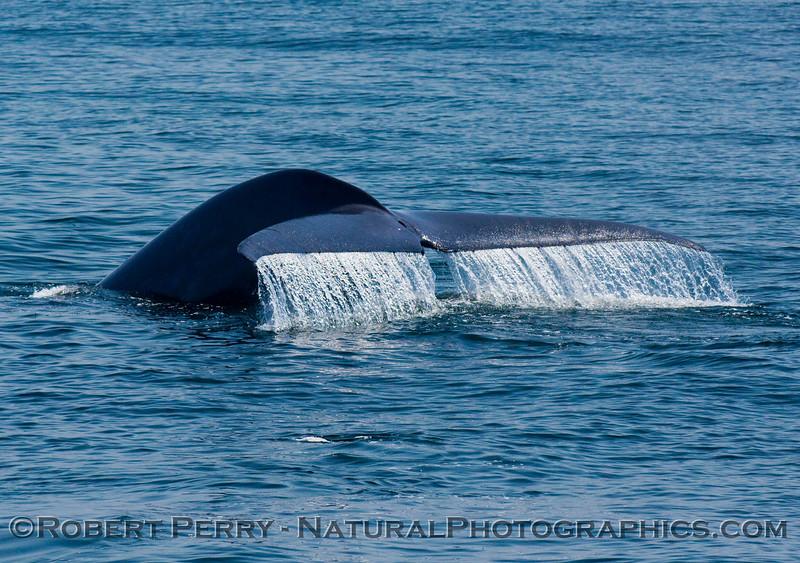 Tail fluke waterfall - Blue whale (Balaenoptera musculus).