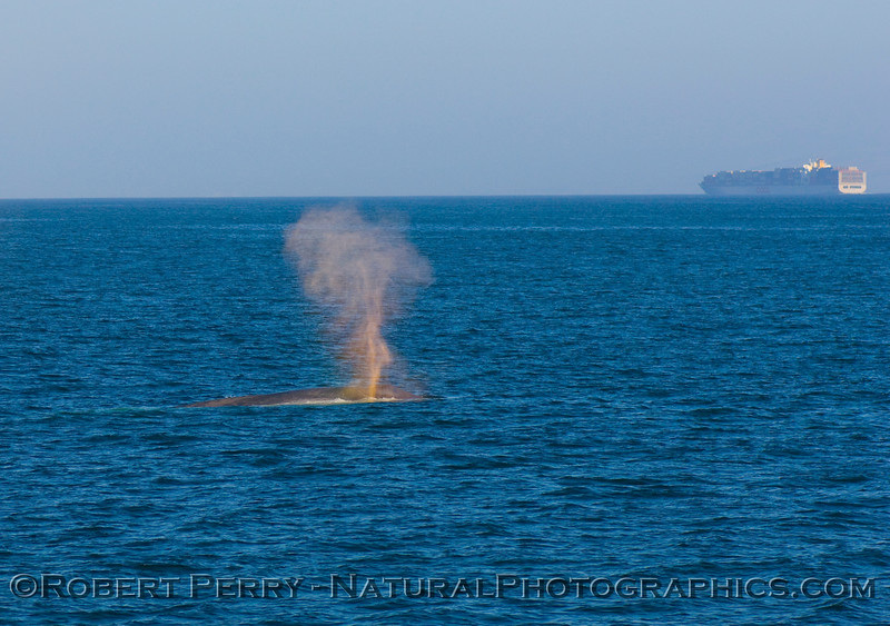 Blue Whale spouts as nearby container cargo ship heads along the northbound shipping lane of the Santa Barbara Channel.