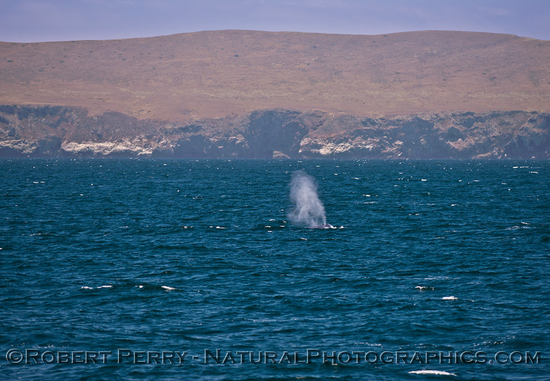 Balaenoptera musculus Santa Cruz Island 2016 07-07 SB Channel-225