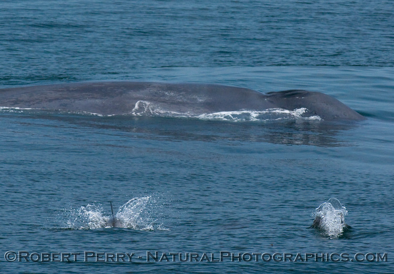 Shot 1 of 4 - Blue whale (Balaenoptera musculus) surrounded by Common Dolphins (Delphinus sp).