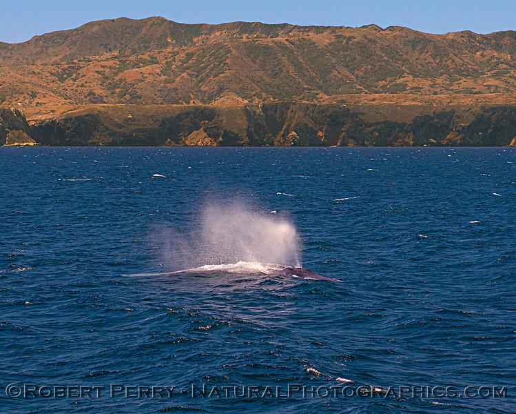 Balaenoptera musculus & Santa Cruz Island 2018 07-22 SB Channel East-b-016