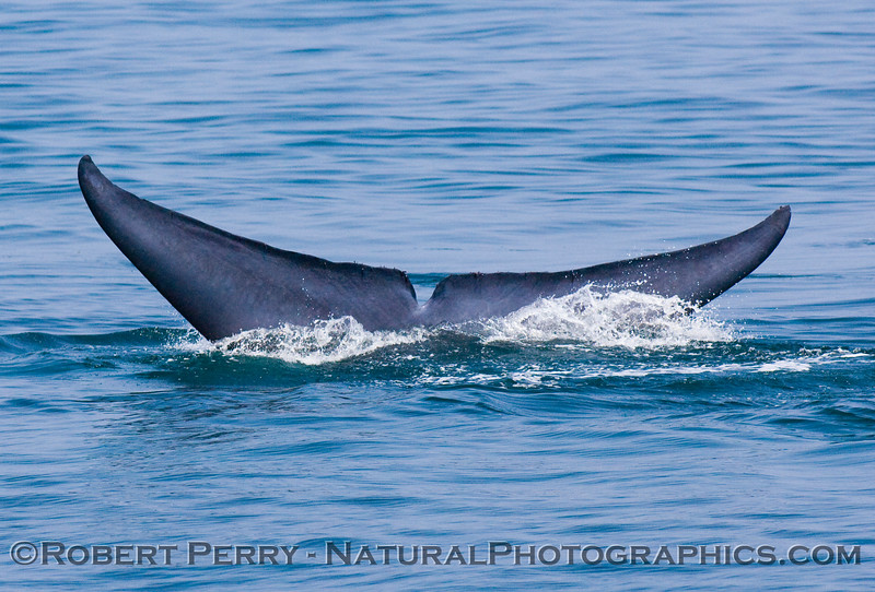 Final descent.  Tail flukes of a Blue Whale (Balaenoptera musculus)on a deep dive.