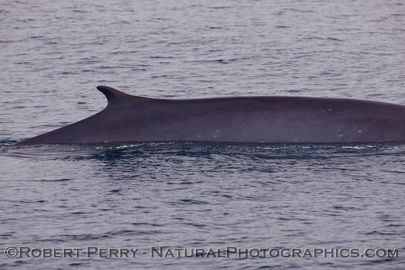 Fin whale (Balaenoptera physalus).