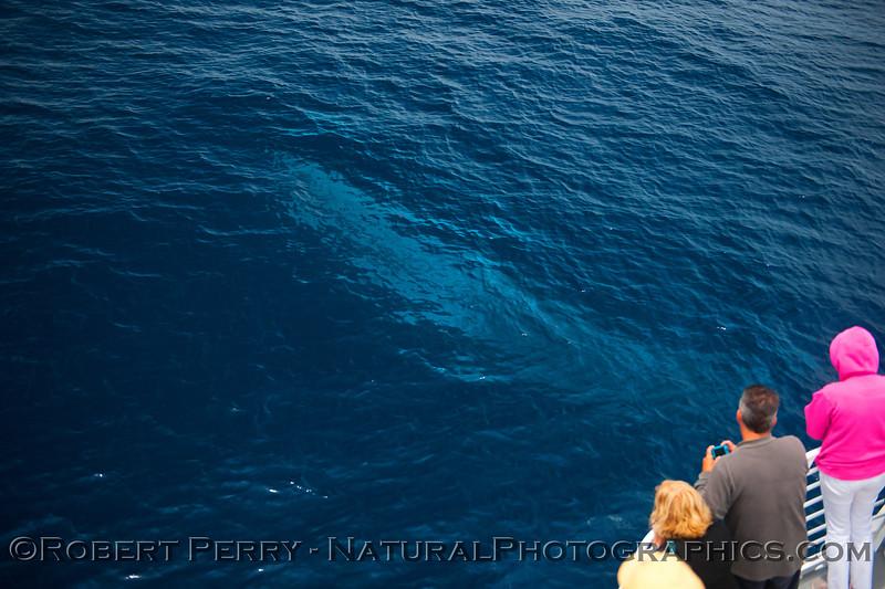 Balaenoptera physalus JUV glow blue under boat 2015 07-01 SB Channel-a-009