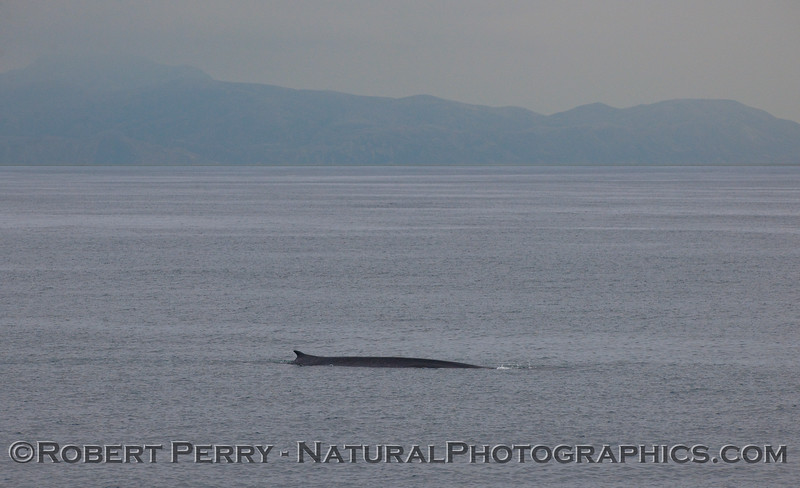 Balaenoptera physalus FIN whale 2010 07-07 SB Channel - 006