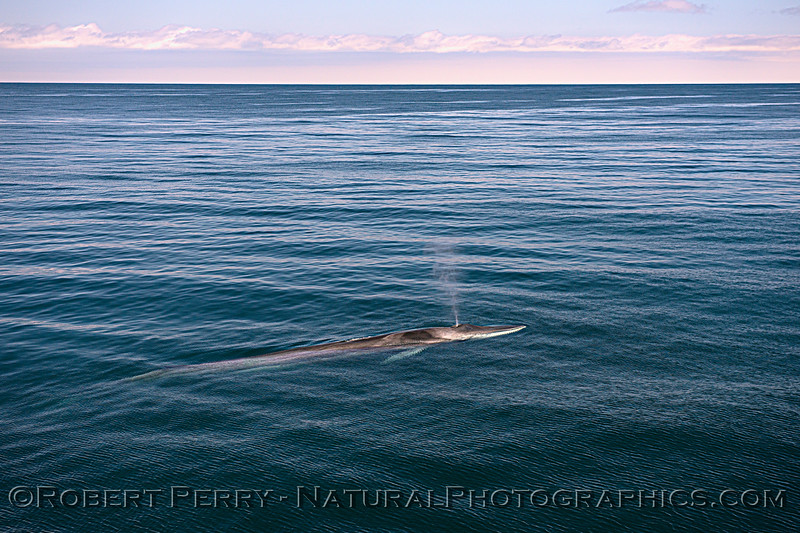 Balaenoptera physalus CLOSE 2020 07-16 SB Channel Far West-b-127