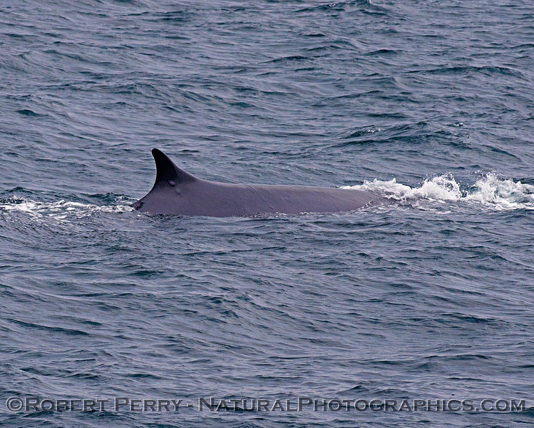 Balaenoptera physalus 2018 06-15 SB Channel--030