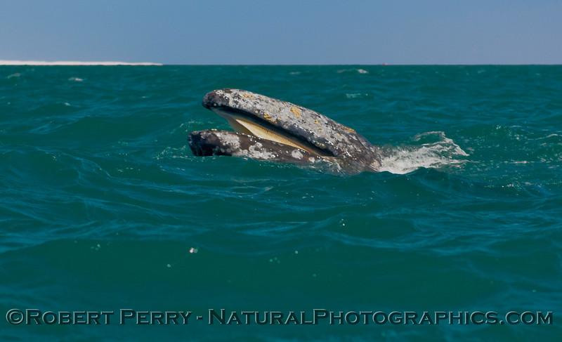 Eschrichtius robustus mouth & baleen 2009 03-15 Laguna Guerrero Negro Baja - 6113
