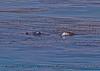 Eschrichtius robustus cow-calf kelping 2016 04-26 SB Coast-1059
