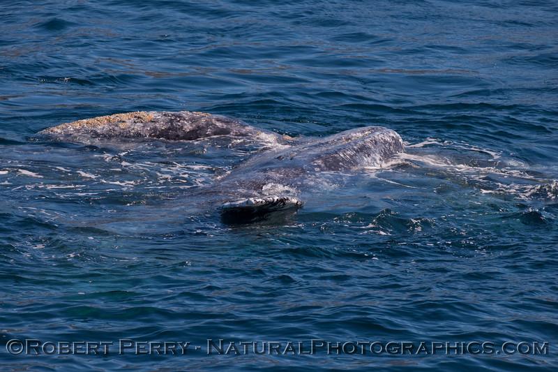 1-Eschrichtius robustus 2012 01-28 SB Channel--122