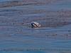 Eschrichtius robustus cow-calf SPYHOP kelping 2016 04-26 SB Coast-0004