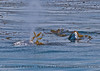 Eschrichtius robustus cow-calf kelping spout blsts kelp 2016 04-26 SB Coast-1105