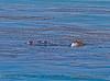 Eschrichtius robustus cow-calf kelping 2016 04-26 SB Coast-1060