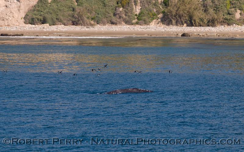 Eschrichtius robustus & Branta bernica near shore 2011 04-09 SB Channel a - 039