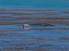 Eschrichtius robustus cow-calf kelping 2016 04-26 SB Coast-1206