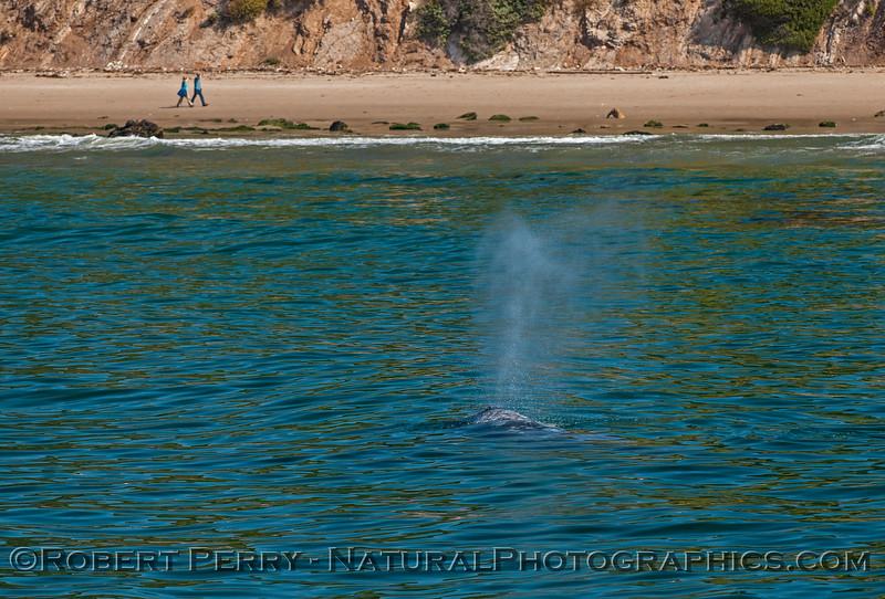 Eschrichtius robustus cow-calf people on beach 2017 04-29 SB Coast-225