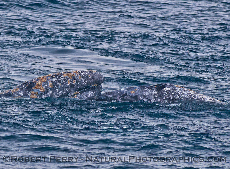 Eschrichtius robustus mating head on whale 2016 03-05 SB Channel-010