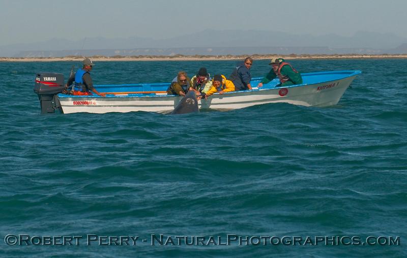 Eschrichtius robustus JUV & people in panga petting 2009 03-16 Laguna San Ignacio Baja - 4130