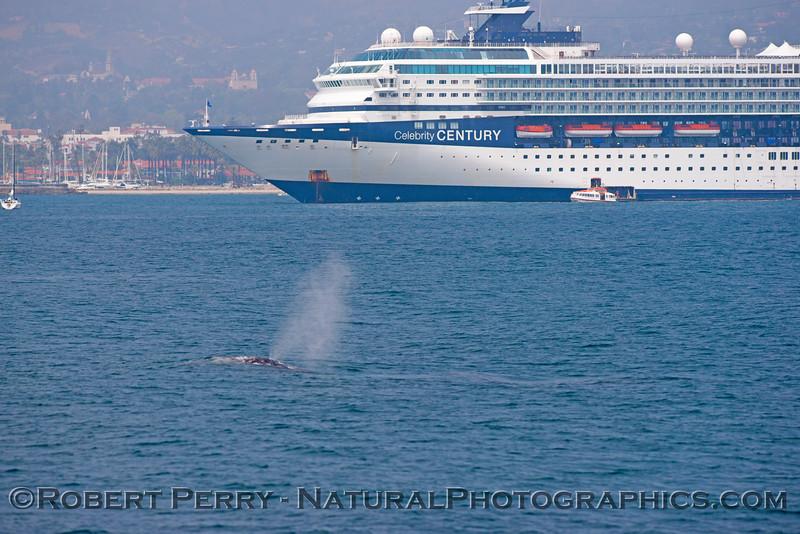 Eschrichtius robustus and cruise ship 2013 04-28 SB Coast-107