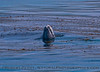 Eschrichtius robustus cow-calf SPYHOP in kelp 2016 04-26 SB Coast-0019