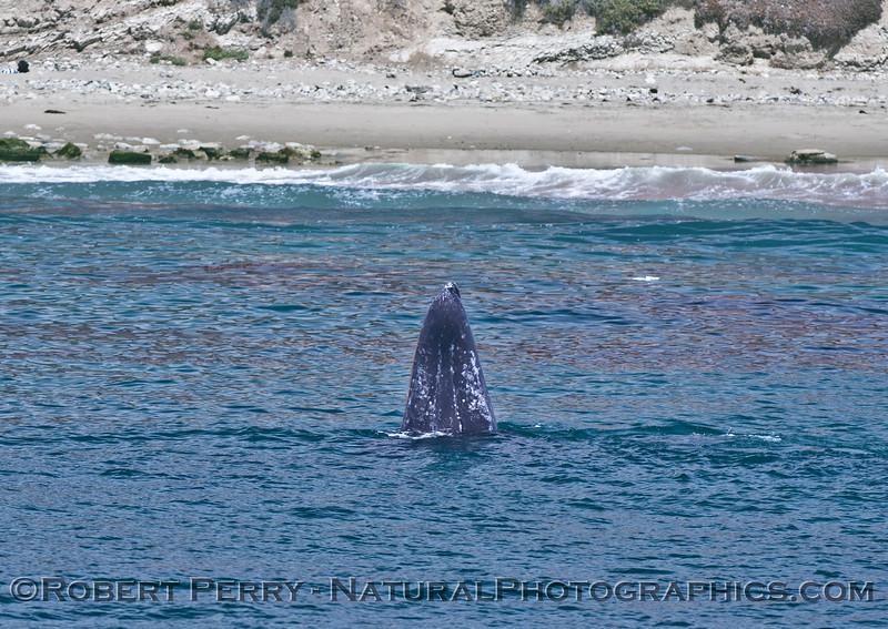 Eschrichtius robustus spy hop near beach 2015 04-29 SB Coast-400