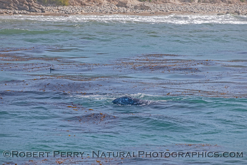Eschrichtius robustus cow-calf near beach 2017 04-27 SB Coast-a-043