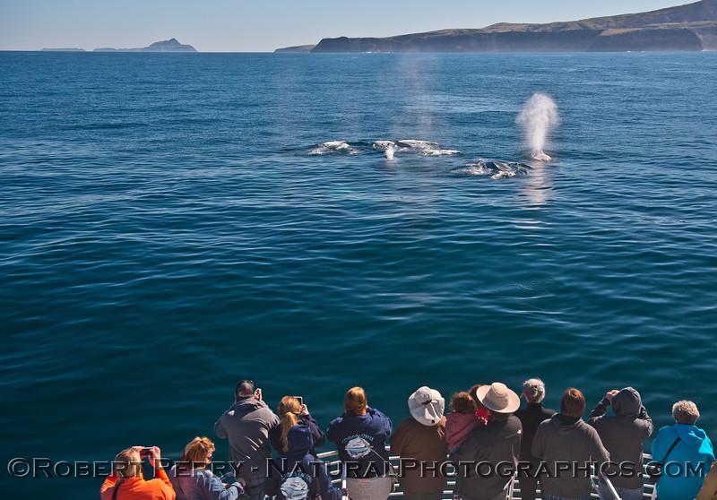 1-Eschrichtius robustus super pod & passengers & Anacapa & Sta Cruz Island LARGE FILE 2016 02-05 SB Channel-a-147