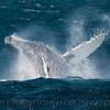 Megaptera novangliae BREACH SEQ 2009 04-14 SB Channel b - 192