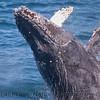 Megaptera novaeangliae BREACH 2010 07-22 SB Channel - 152
