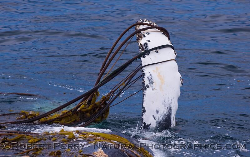 1_Megaptera novaeangliae rolling in kelp 2011 06-05 SB Channel -200