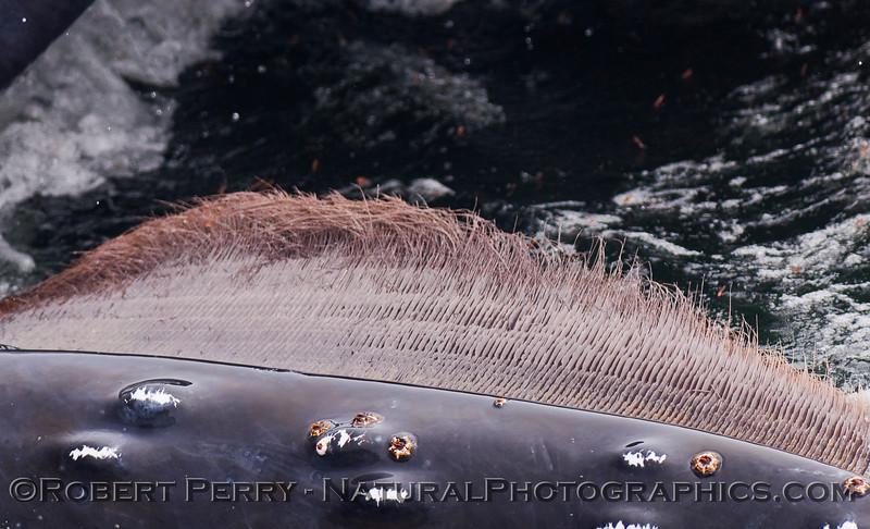 Megaptera novaeangliae EXTREME CLOSE UP baleen 2010 06-13 SB Channel - 025