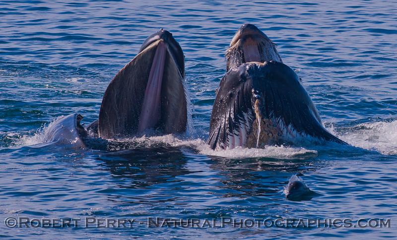 Megaptera novaeangliae & Delphinus capensis 2011 10-30 SB Channel f - 013