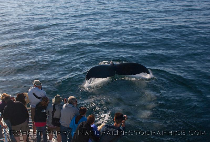 Megaptera novaeangliae tail CLOSE & passengers 2010 09-25 SB Channel - 257