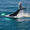 Megaptera novaeangliae tail throw CLOSE 2010 04-07 SB Channel a - 312