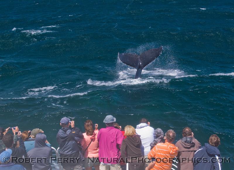 Megaptera novaeangliae & passengers 2011 08-04 SB Channel a - 064